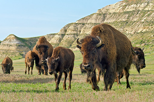 MAM 26 TL0035 01 © Kimball Stock Herd Of American Bison Walking Across Badlands In Northern Great Plains, North Dakota