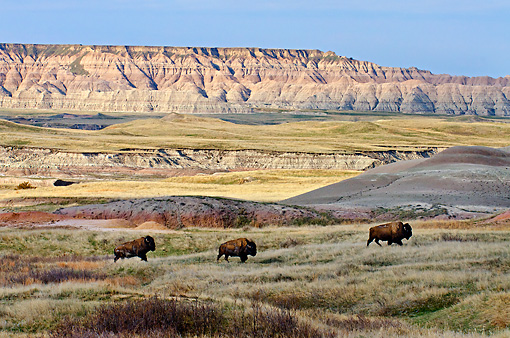 MAM 26 TL0036 01 © Kimball Stock Three American Bison Roaming Sage Creek Wilderness In Badlands National Park, South Dakota