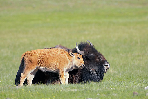 MAM 26 WF0002 01 © Kimball Stock Bison Calf Nuzzling Mother In Meadow