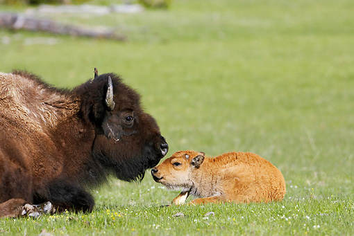 MAM 26 WF0003 01 © Kimball Stock Bison Mother And Calf Resting In Meadow