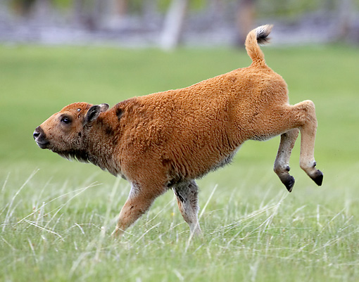 MAM 26 WF0005 01 © Kimball Stock Young Bison Calf Running In Meadow