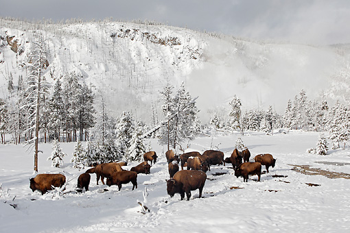MAM 26 WF0009 01 © Kimball Stock Herd Of Bison Standing In Snow Covered Field Yellowstone National Park