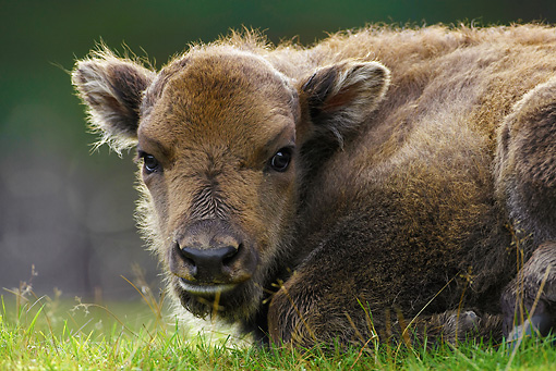 MAM 26 WF0013 01 © Kimball Stock Close-Up Of European Bison Calf Laying On Grass