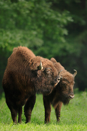 MAM 26 WF0014 01 © Kimball Stock Two European Bison Standing On Grass