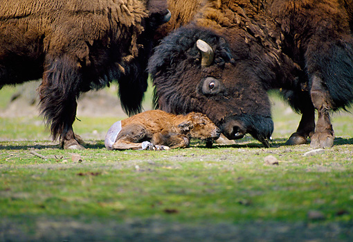 MAM 26 WF0016 01 © Kimball Stock Close-Up Of Bison Mother Nuzzling Young