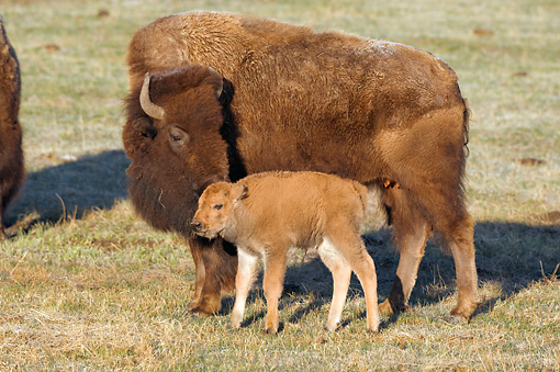 MAM 26 NE0003 01 © Kimball Stock Bison Cow And Calf Standing In Field Nuzzling Yellowstone