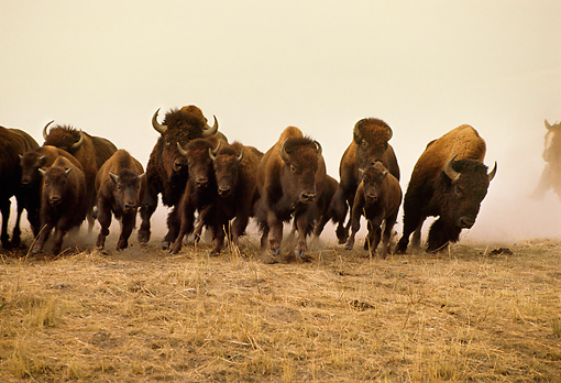 MAM 26 RW0001 01 © Kimball Stock Herd Of Bison Or Buffalo Stampede Montana