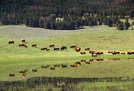 MAM 26 TK0002 01 © Kimball Stock Herd Of Plains Bison Grazing On Hillside By Lake Rocky Mountains