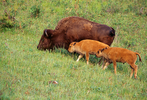 MAM 26 TL0011 01 © Kimball Stock Two Young Bison Calves And Cow Grazing