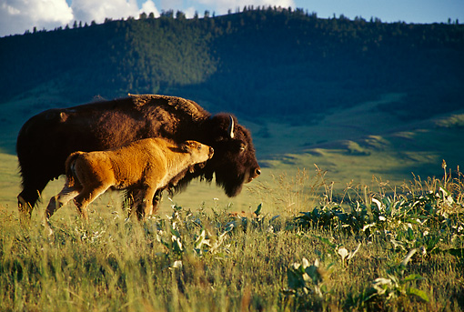 MAM 26 TL0015 01 © Kimball Stock Profile Of American Bison Calf Nuzzing Mother In Field Mountain Background