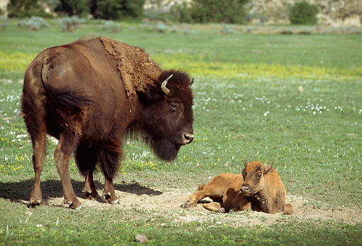 MAM 26 TL0016 01 © Kimball Stock American Bison Calf Laying Near Mother In Green Field