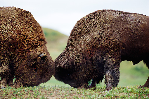 MAM 26 TL0018 01 © Kimball Stock Two American Bison Bulls Butting Heads
