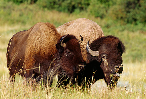 MAM 26 TL0019 01 © Kimball Stock American Bison Bull Courting Cow In Pasture