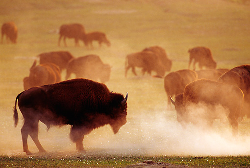 MAM 26 TL0020 01 © Kimball Stock Silhouette Profile Of American Bison Bull And Herd On Dusty Plain