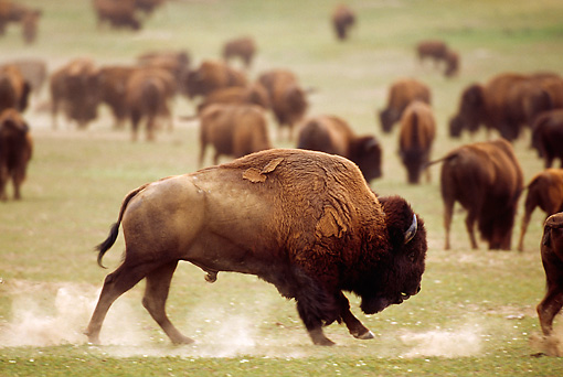 MAM 26 TL0021 01 © Kimball Stock Profile Of American Bison Bull Running Among Herd On Plains