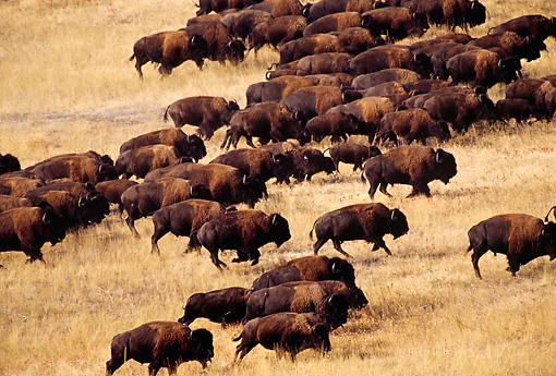 MAM 26 TL0022 01 © Kimball Stock Overhead Shot Of American Bison Herd Stampeding Across Dry Plains