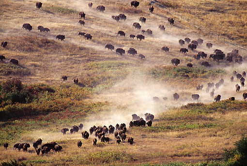 MAM 26 TL0023 01 © Kimball Stock Overhead Shot Of American Bison Herd Stampeding Across Dry Plains
