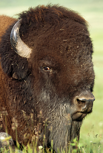 MAM 26 TL0025 01 © Kimball Stock Head Shot Of American Bison Bull Standing In Green Field
