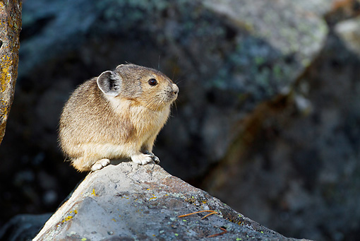 MAM 27 MC0003 01 © Kimball Stock American Pika Sitting On Rock Yellowstone National Park
