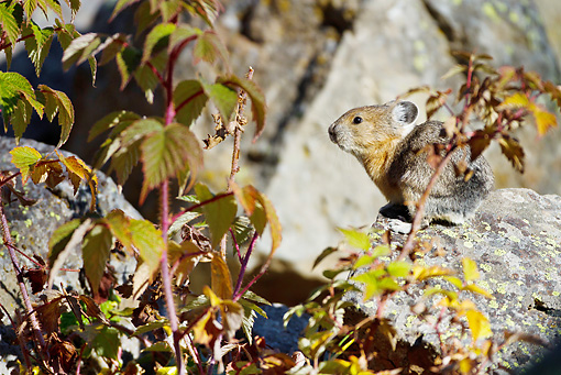MAM 27 MC0004 01 © Kimball Stock American Pika Collecting Wild Rose For Winter Haystack Yellowstone National Park