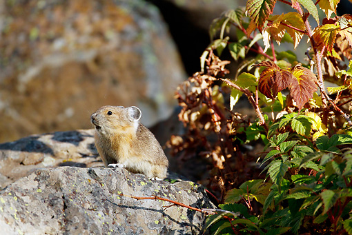 MAM 27 MC0005 01 © Kimball Stock American Pika Collecting Wild Rose For Winter Haystack Yellowstone National Park
