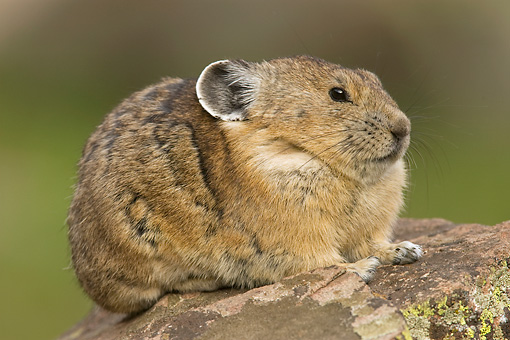 MAM 27 NE0001 01 © Kimball Stock American Pika Sitting On Rock