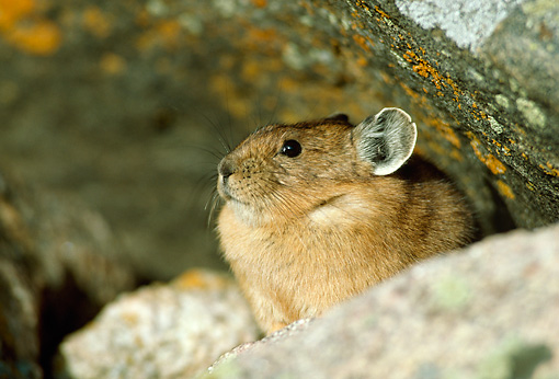 MAM 27 RF0009 01 © Kimball Stock Pika Sitting Among Rocks Colorado