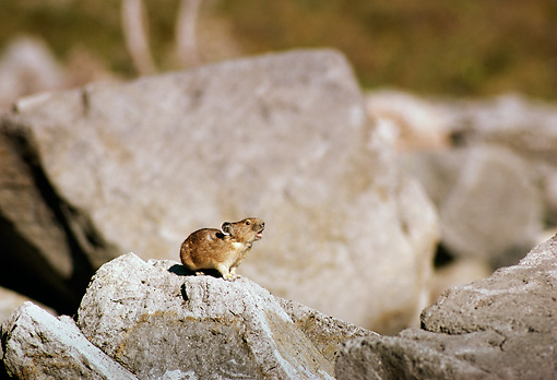 MAM 27 TL0002 01 © Kimball Stock Profile Of A Pika Vocalizing On Rock