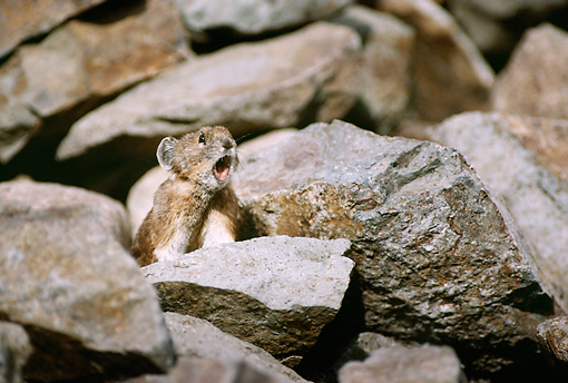 MAM 27 TL0003 01 © Kimball Stock Pika Vocalizing On Rock