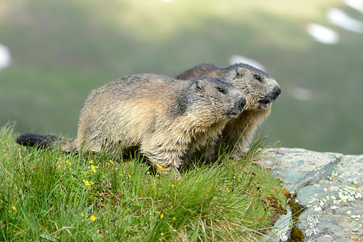 MAM 29 AC0006 01 © Kimball Stock Marmots Standing In Grass, Austria