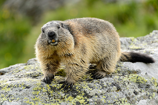 MAM 29 AC0007 01 © Kimball Stock Marmots Standing On Rock, Austria