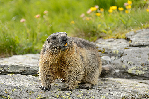 MAM 29 AC0008 01 © Kimball Stock Marmots Standing On Rock, Austria