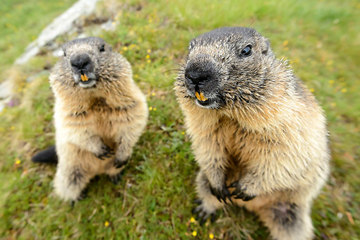 MAM 29 AC0009 01 © Kimball Stock Marmots Close Up, Austria