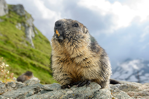 MAM 29 AC0011 01 © Kimball Stock Marmot Standing On Rocks, Austria