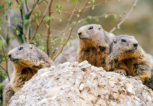 MAM 29 GL0001 01 © Kimball Stock Close-Up Of Three Alpine Marmots Sitting On Rock