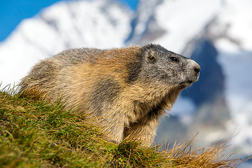 MAM 29 KH0001 01 © Kimball Stock Alpine Marmot In Grass In The Alps