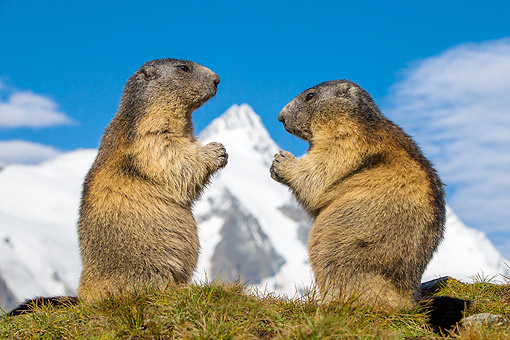 MAM 29 KH0002 01 © Kimball Stock Alpine Marmots In Grass In The Alps