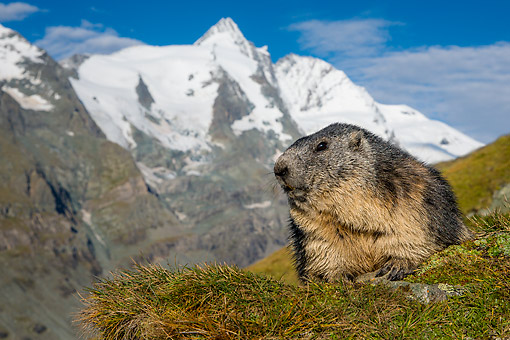 MAM 29 KH0003 01 © Kimball Stock Alpine Marmot In Grass In The Alps