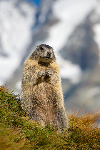 MAM 29 KH0004 01 © Kimball Stock Young Alpine Marmot In Grass In The Alps