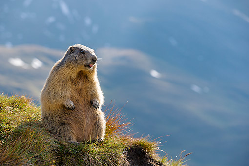 MAM 29 KH0005 01 © Kimball Stock Young Alpine Marmot Making Funny Face In The Alps