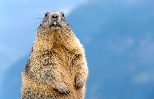 MAM 29 KH0007 01 © Kimball Stock Alpine Marmot Making Funny Face In The Alps