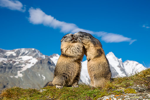 MAM 29 KH0008 01 © Kimball Stock Alpine Marmots Kissing In The Alps