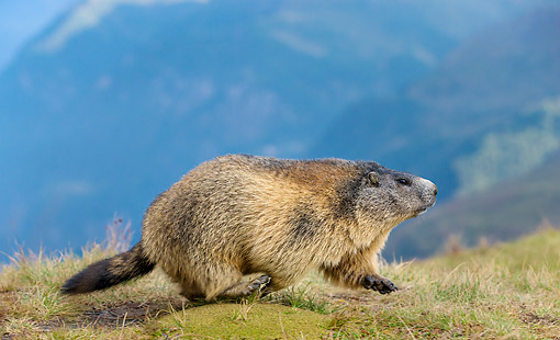 MAM 29 KH0009 01 © Kimball Stock Alpine Marmot Exploring In The Alps