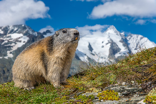 MAM 29 KH0010 01 © Kimball Stock Alpine Marmot Exploring In The Alps