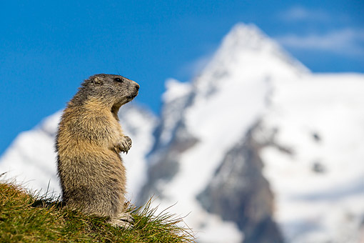 MAM 29 KH0012 01 © Kimball Stock Alpine Marmot Looking Out On The Alps