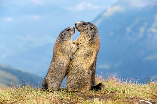 MAM 29 KH0013 01 © Kimball Stock Young Alpine Marmot Begging Adult Alpine Marmot For Food, In The Alps