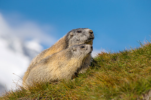 MAM 29 KH0014 01 © Kimball Stock Adult And Young Alpine Marmots Climbing Grassy Hill In The Alps
