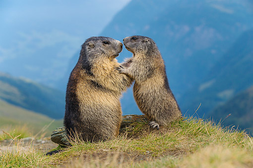 MAM 29 KH0015 01 © Kimball Stock Adult And Young Alpine Marmot Embracing In The Alps