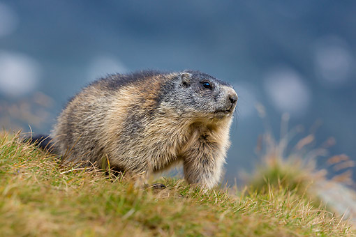 MAM 29 KH0016 01 © Kimball Stock Alpine Marmot Standing In Grass In The Alps
