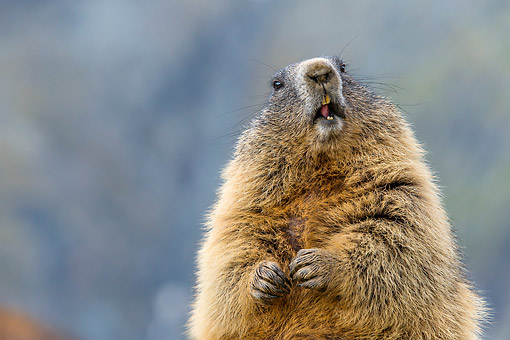 MAM 29 KH0017 01 © Kimball Stock Alpine Marmot Making Funny Face In The Alps